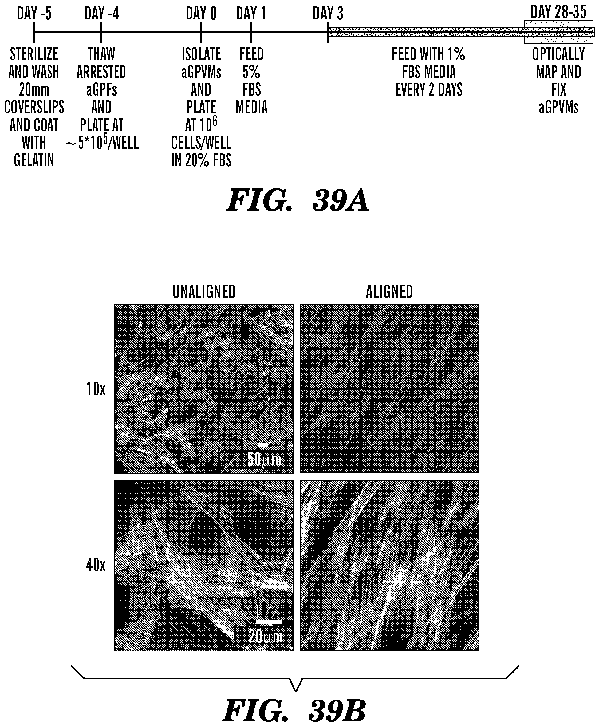SYSTEMS AND METHOD FOR ENGINEERING MUSCLE TISSUE - Patent